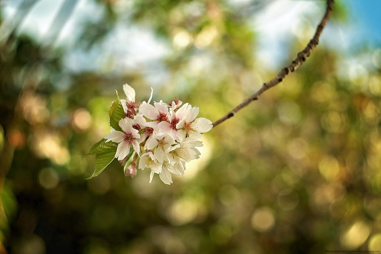 Blossoms F01