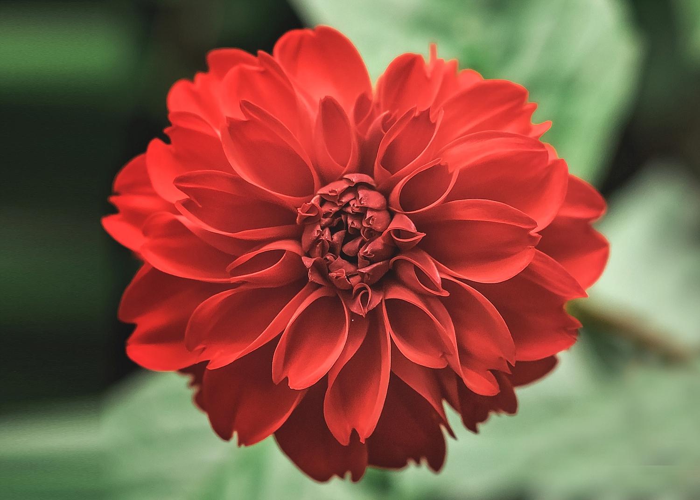 Red Dahlia F01