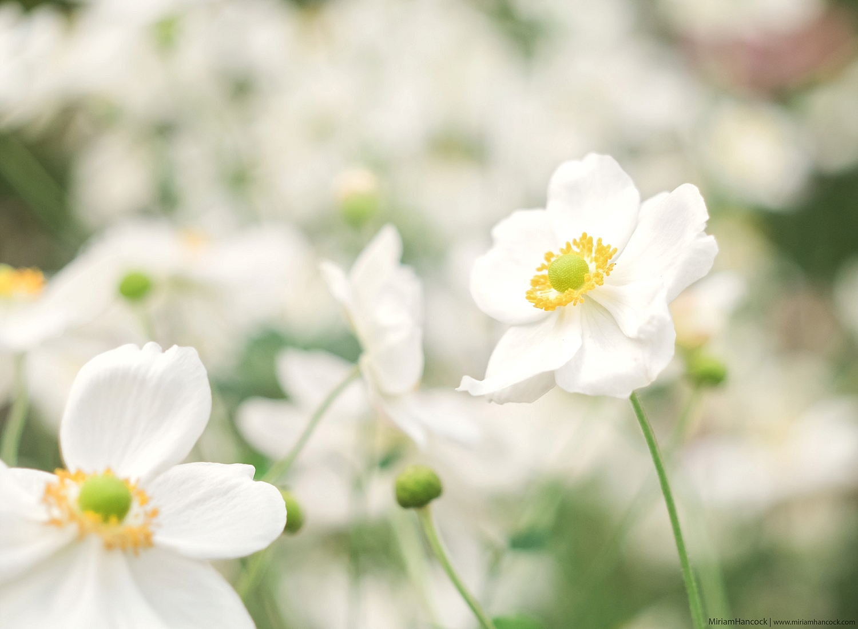 White Flowers F01