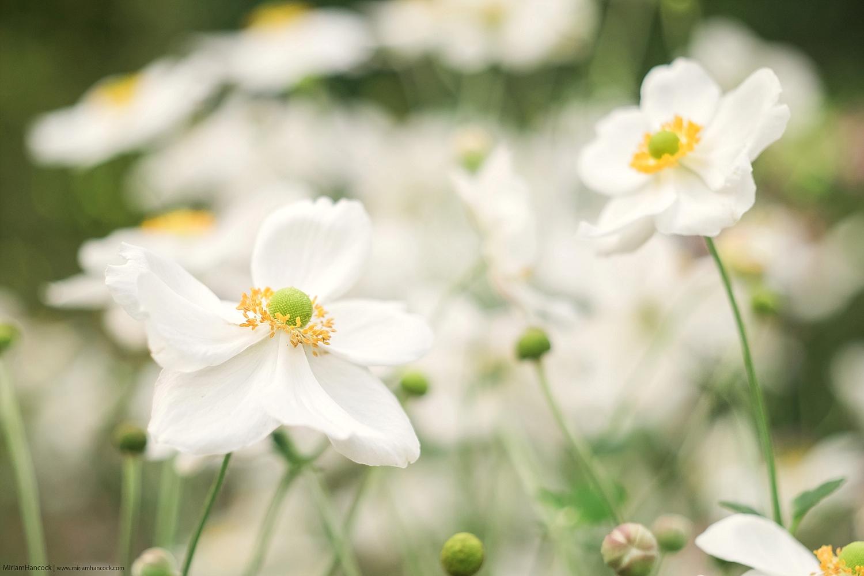White Flowers F02