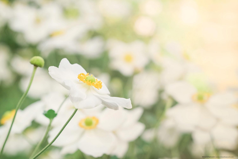 White Flowers F03