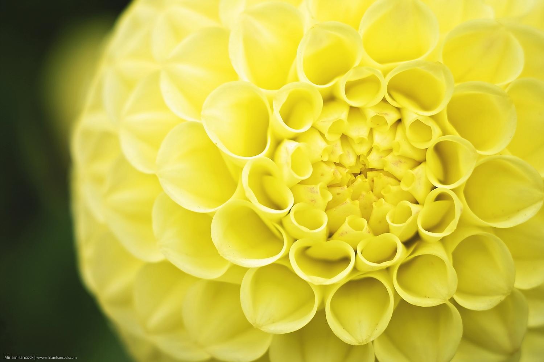 Yellow Dahlia F02
