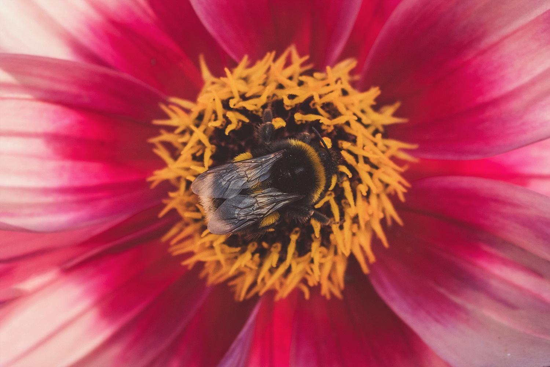Bumble Bee on Dahlia