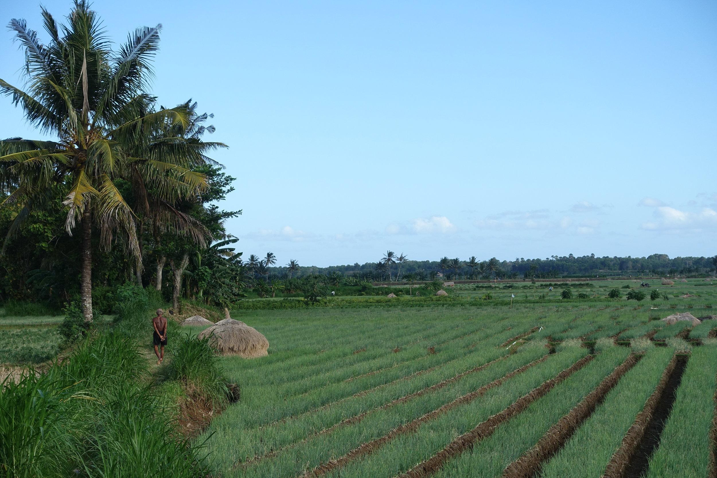 magelang-rice-field.JPG