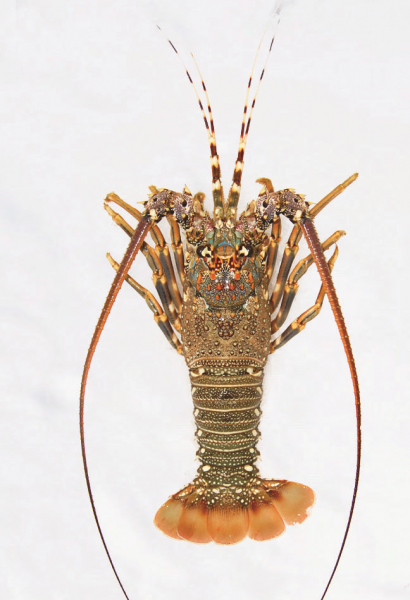 lobster1-205x300@2x.png