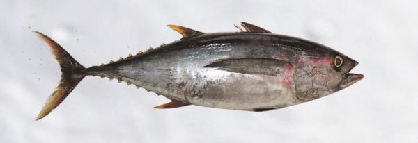 yellow-fin-tuna-300x103@2x.png