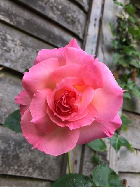pink-rose.JPG