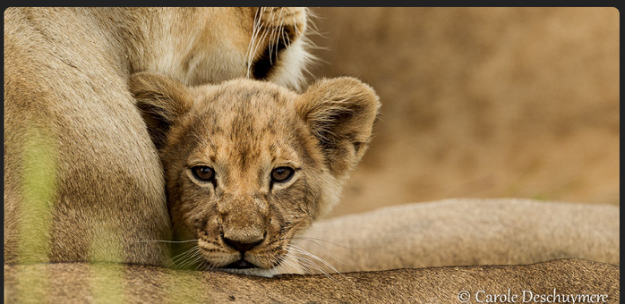 World-lion-day-8-10-15-.png