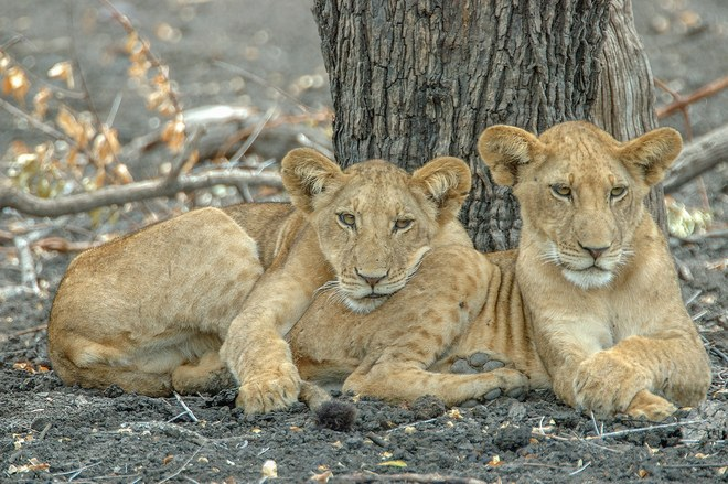 Lions in Selous Game Reserve Photo: Courtesy of Asilia