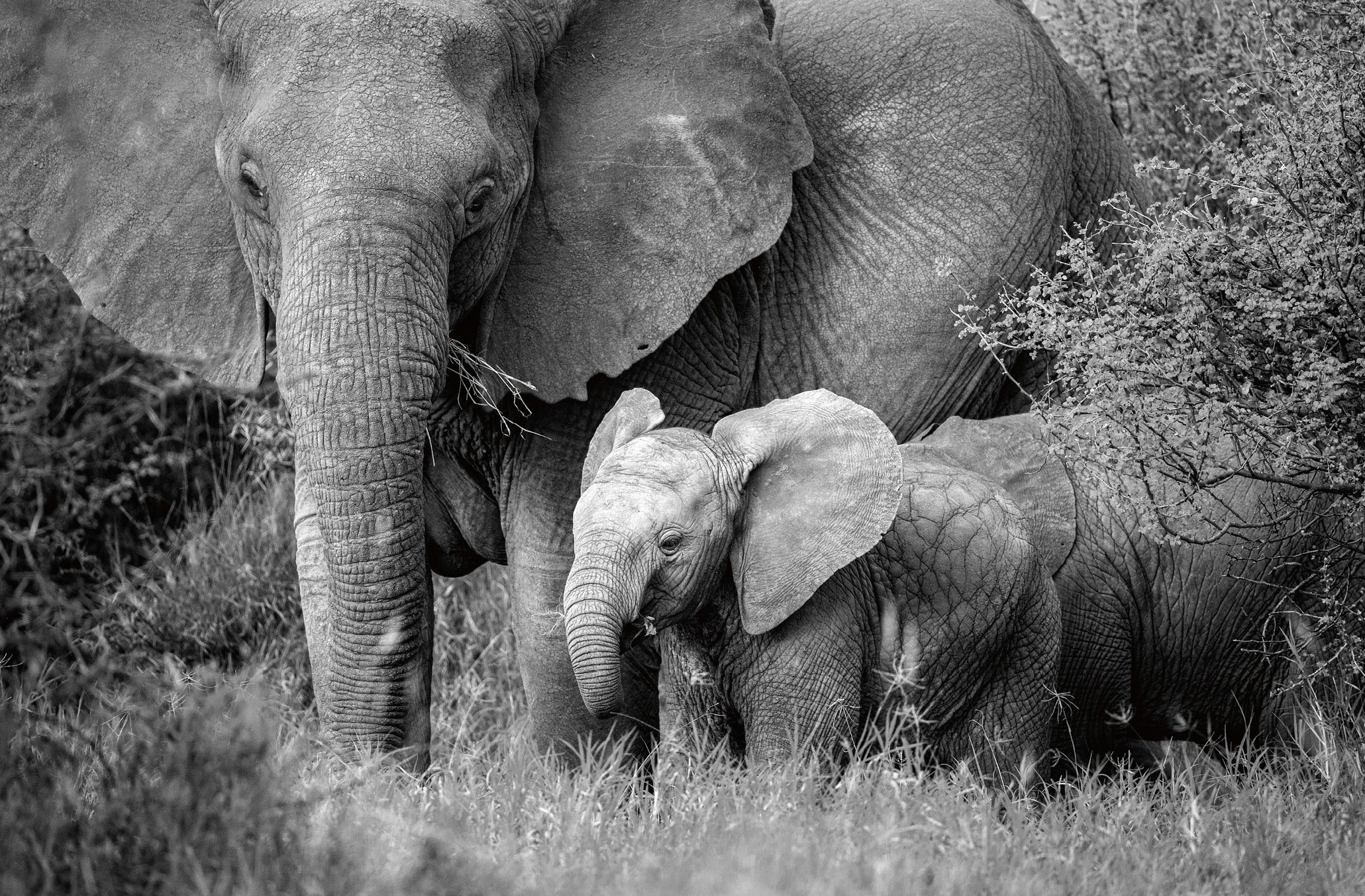 African elephants photographed by Susan McConnell.