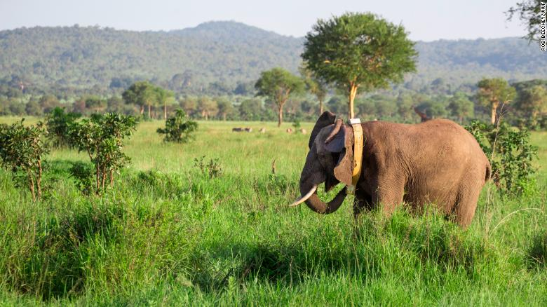 AFTER BEING COLLARED AND REVIVED AN ELEPHANT MAKES ITS WAY BACK TO ITS HERD IN SELOUS GAME RESERVE, TANZANIA