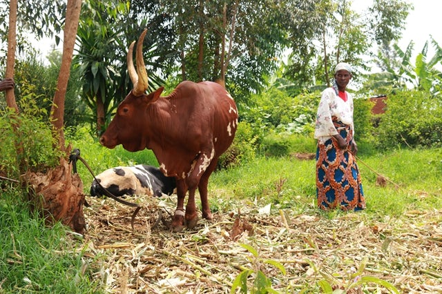 Source: Corn stover – the stalks, leaves and cobs left behind after a harvest – is a popular cattle feed in Kenya. But it is hard to digest, resulting in low milk yields for already struggling dairy farmers. Sophie Mbugua  via NewsDeeply.com