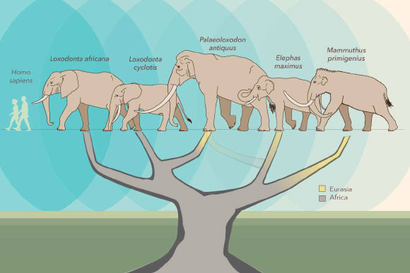 A study by Meyer et al reconfigures the elephant family tree, placing the straight-tusked elephant (Palaeoloxodon antiquus) closer to the African forest elephant (Loxodonta cyclotis), than to the Asian elephant (Elephas maximus), which was once thought to be its closest living relative. Image credit: Asier Larramendi Eskorza / Julie McMahon.