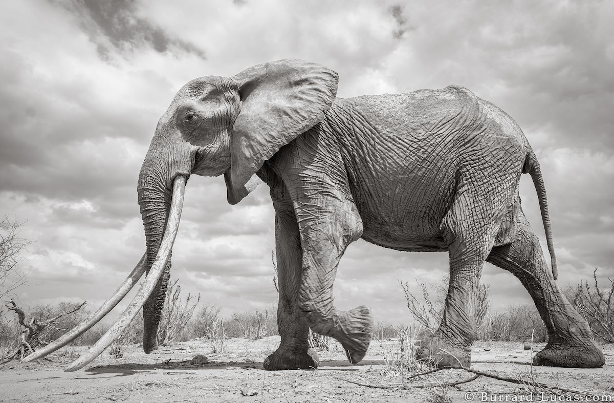 will-burrard-lucas-elephant-queen-land-of-giants-book- (3).jpg