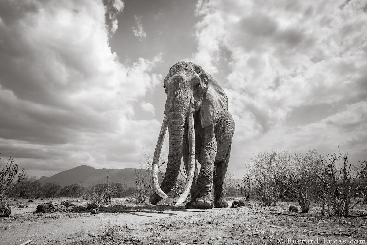 will-burrard-lucas-elephant-queen-land-of-giants-book- (7).jpg