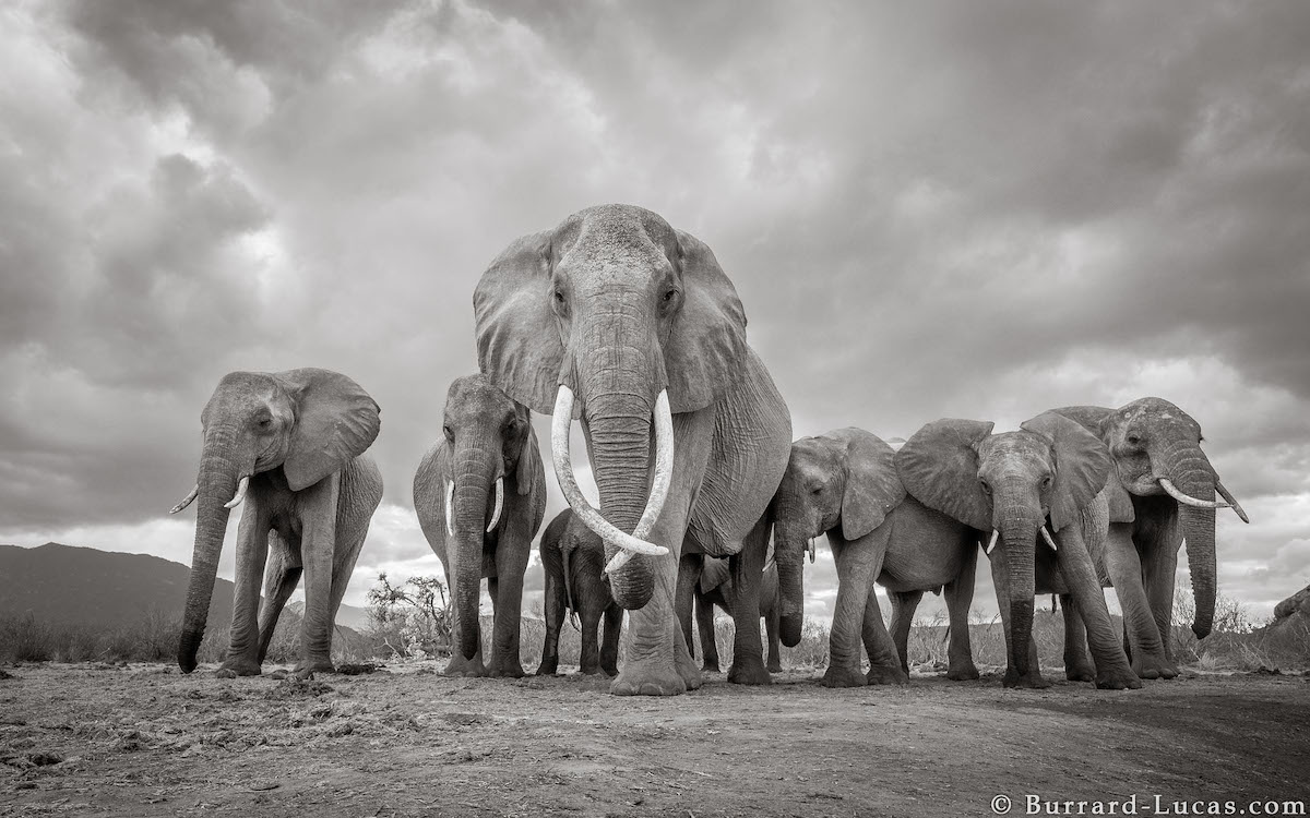 will-burrard-lucas-elephant-queen-land-of-giants-book- (12).jpg