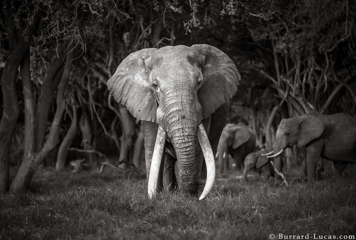 will-burrard-lucas-elephant-queen-land-of-giants-book- (13).jpg