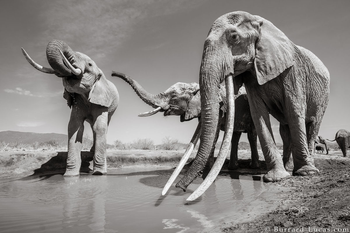 will-burrard-lucas-elephant-queen-land-of-giants-book- (8).jpg
