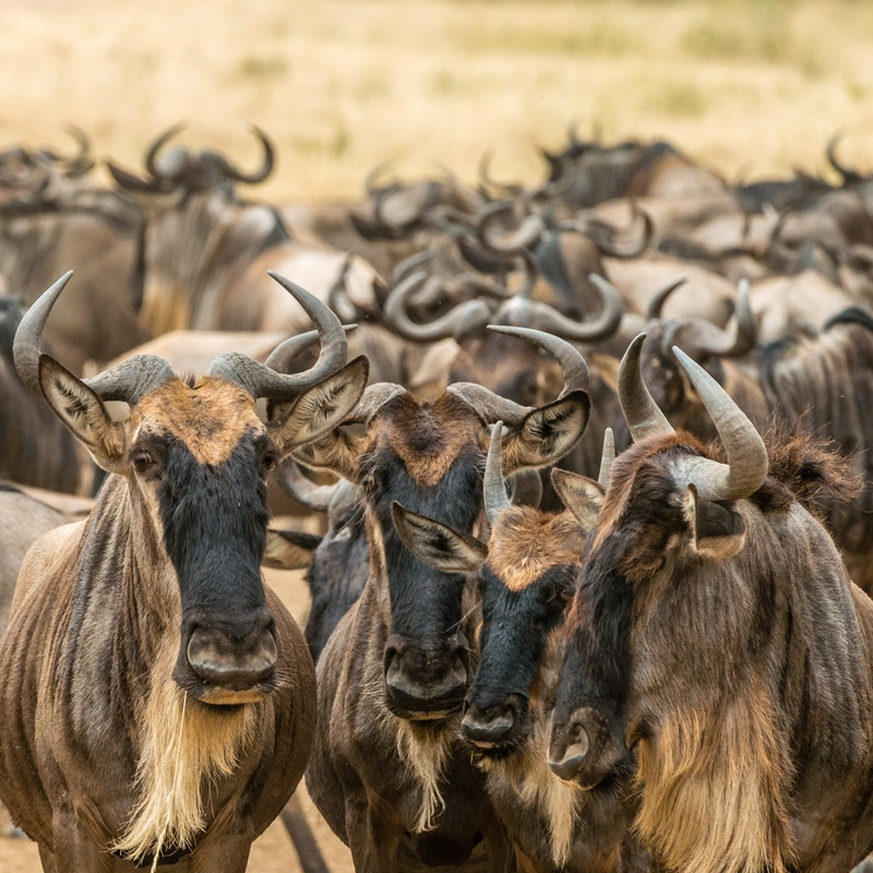 Wildebeest in Maasai Mara National Park, Narok County, Kenya. Photo by  sutirta budiman  on  Unsplash