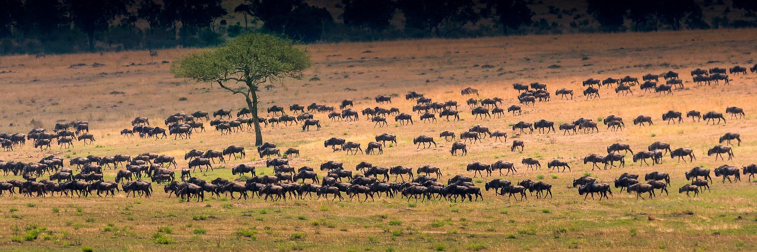 Wildebeest migration in northern Serengeti, Tanzania. Photo by  Chen Hu  on  Unsplash