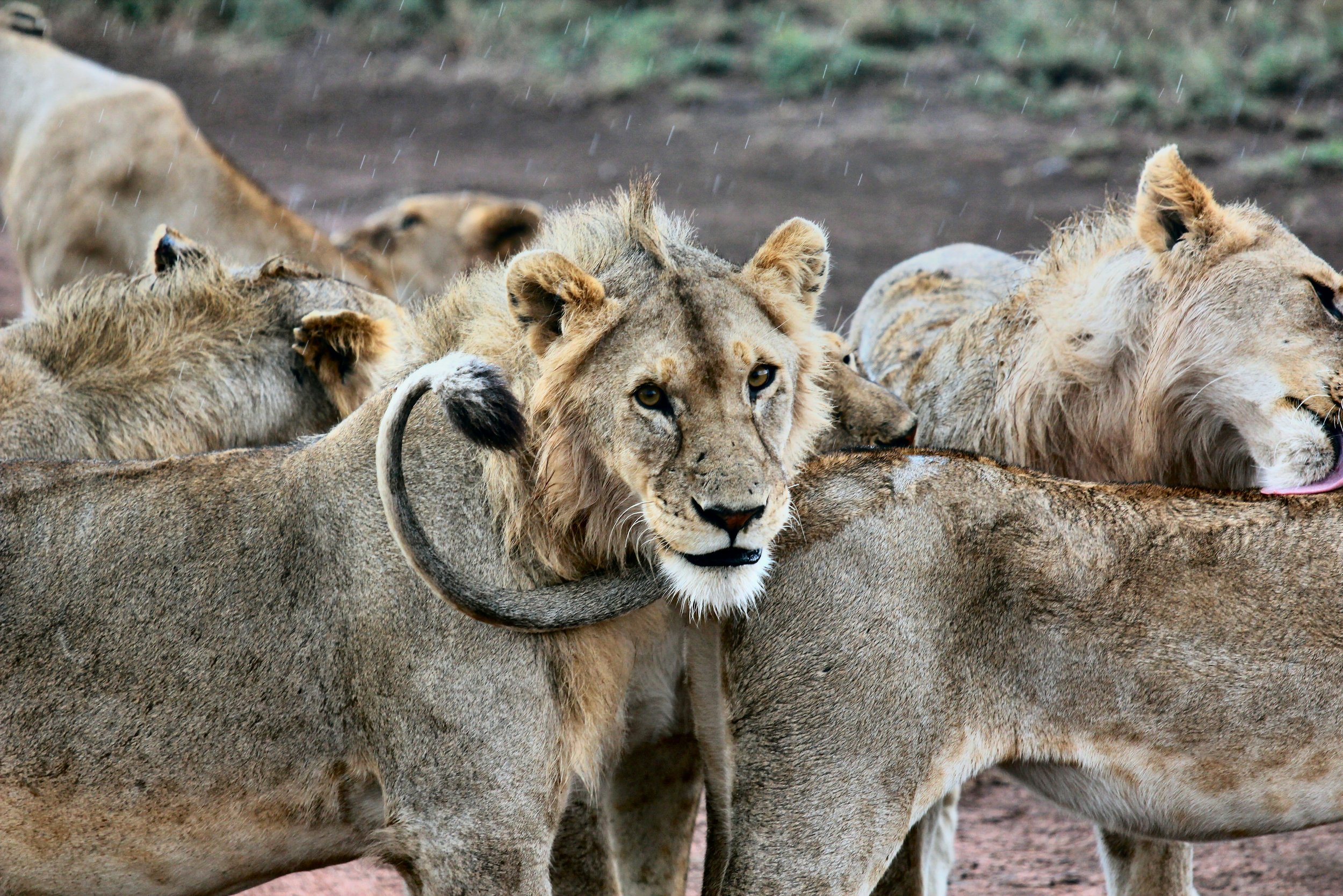 Pride of lions in Serengeti National Park, Tanzania. Photo by  joel herzog  on  Unsplash