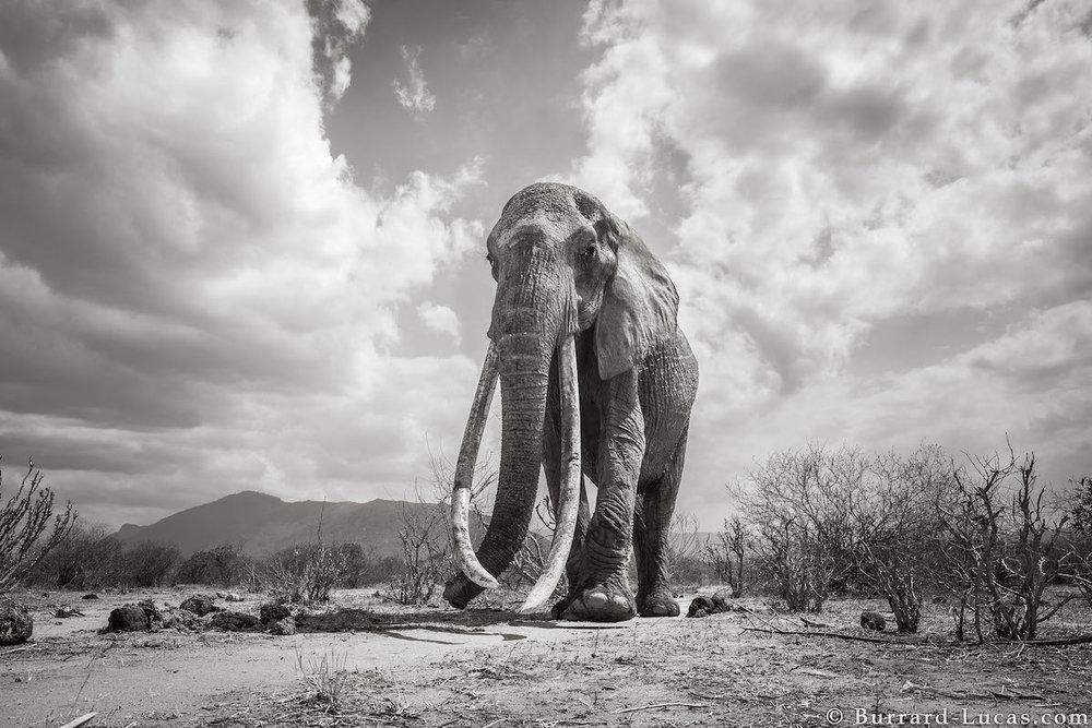 Will Burrard-Lucas + Tsavo Trust + BeetleCam Capture Kenya's Endangered, Magnificent Elephant Queens