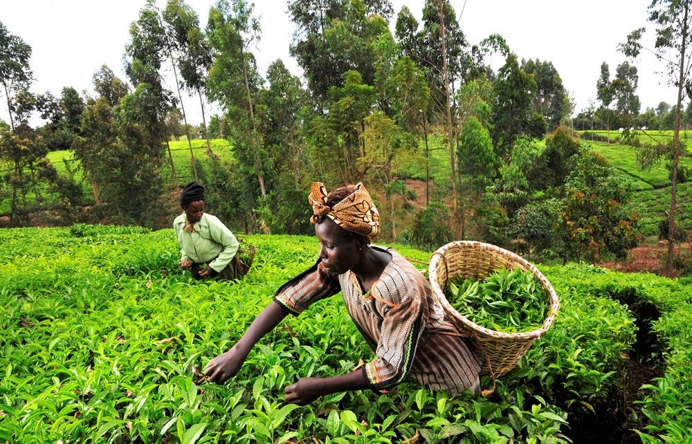 Tea pickers in Kenya's Mount Kenya region. The  Mount Kenya Elephant   Corridor (MKEC) reconnects a 14km traditional elephant   migratory pathway  between Laikipia and Samburu dramatically reducing human-elephant conflict.
