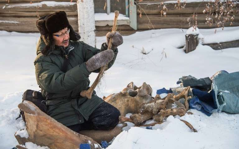 Prokopy Nogovitsyn shows part of a mammoth skeleton in the backyard of his house in a village in the northern Siberian region of Yakutia  Image via