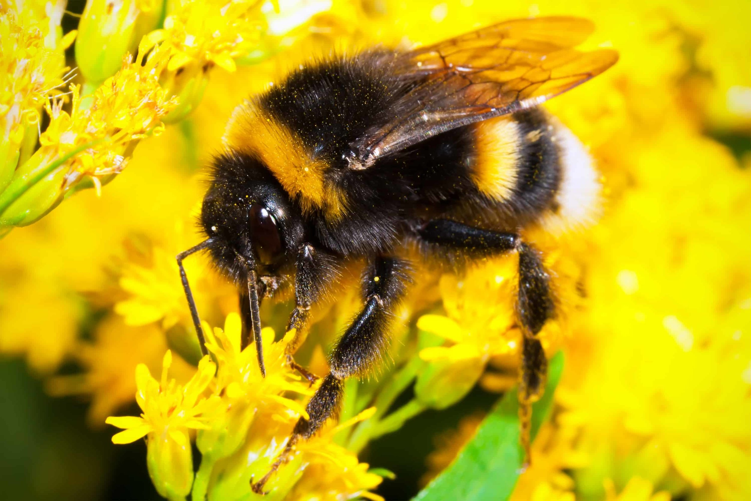 Bumblebees-in-decline.jpg