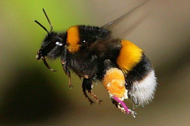 Bumble-bee-research.jpg