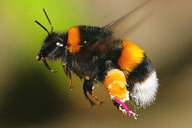 Bumble-bee-research.jpg
