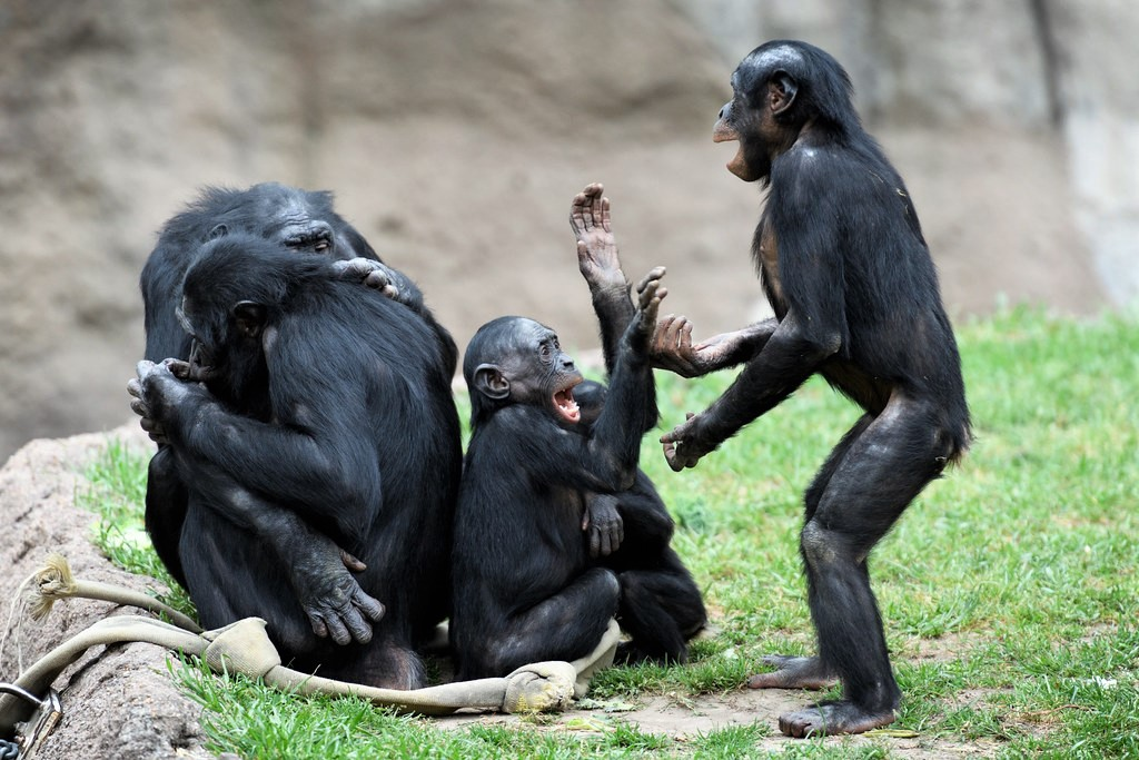 Bonobos Playing Pattycake  by Eric Kilby @ Flickr
