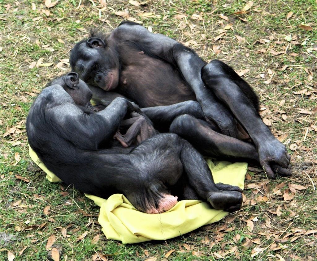 Bonobos Adoring Baby  by LaggedOnUser @ Flickr.