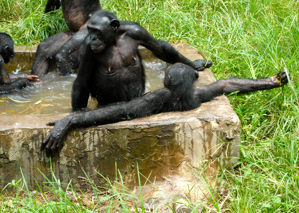 BONOBOS DOING WHAT THEY DO  BY GREG @ FLICKR