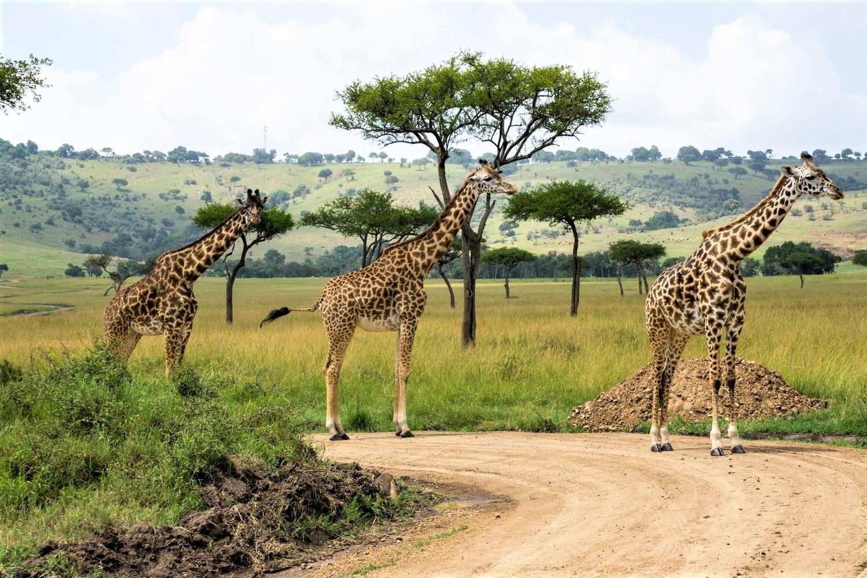 Giraffes at Masai Mara National Reserve, Kenya. Photo by  Julie Wolpers  on  Unsplash