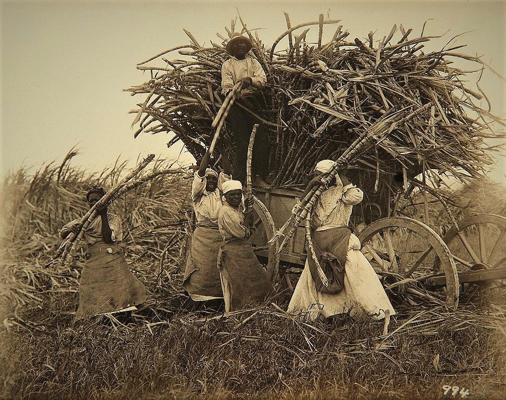 File:Collectie Nationaal Museum van Wereldculturen TM-60062020 Suikerrietoogst Barbados fotograaf niet bekend.jpg