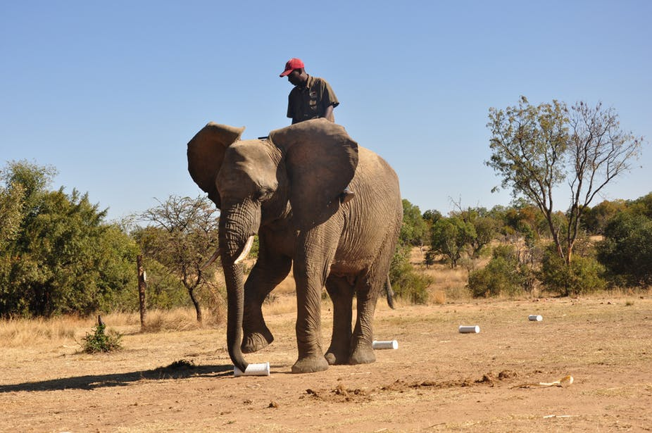 Chishuru, a male African elephant, indicates a target scent during trials. Image by Graham Alexander.