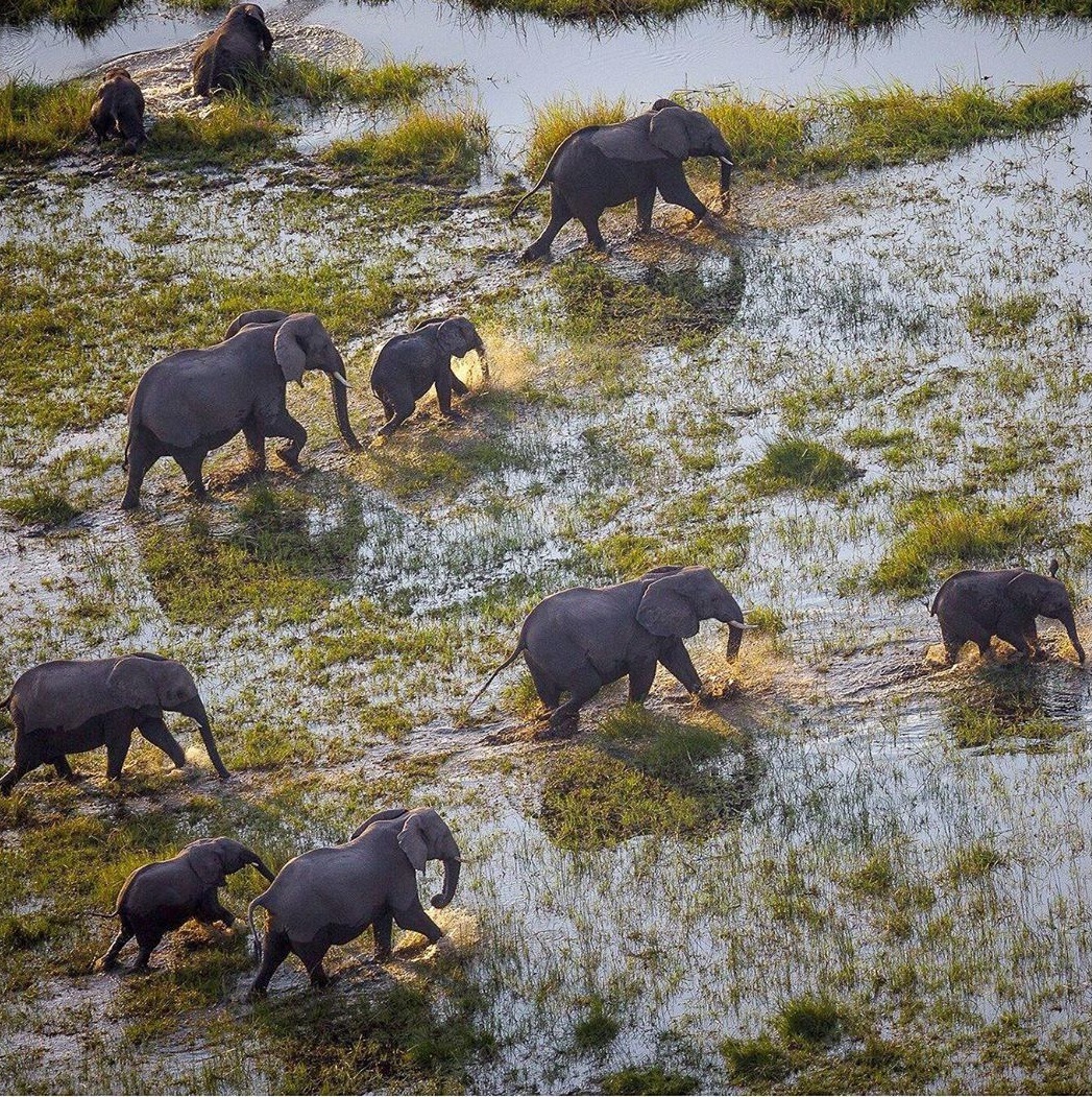 Elephtants in the Okavango Delta. Image by Cory Richards and John Hilton.