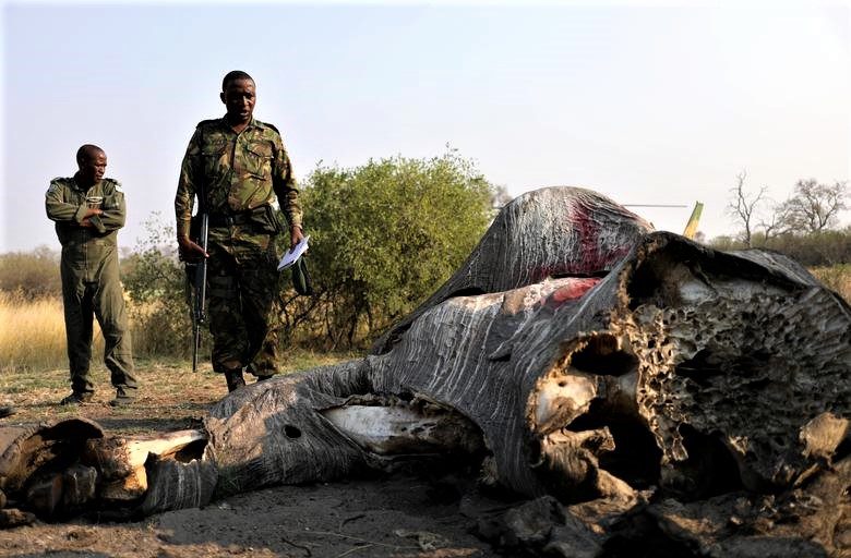 Reuters / Thursday, September 20, 2018  Colonel George Bogatsu of Botswana Defence Force (BDF) reacts as he inspects the carcass of an elephant in the Linyanti area, Botswana, September 19, 2018. Botswana was once known as a sanctuary for elephants, home to the world's largest elephant population. But now, conservationists have discovered 87 of them slaughtered just in the last few months. They were spotted in aerials surveys with their tusks missing. REUTERS/Siphiwe Sibeko.  More images.