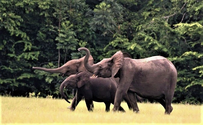 Forest-Elephants-in-Africa-2.jpg