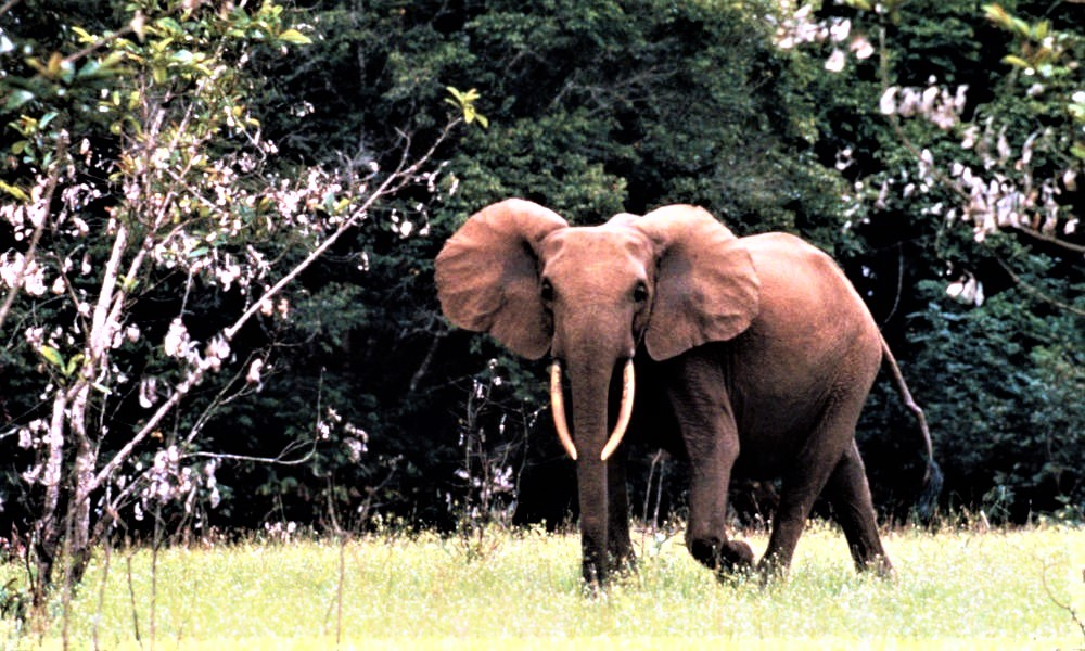 Forest Elephant in Gabon.jpg