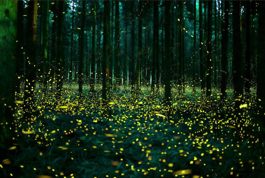 Firefly viewing in Southbury, Connecticut  June 29, 2018.
