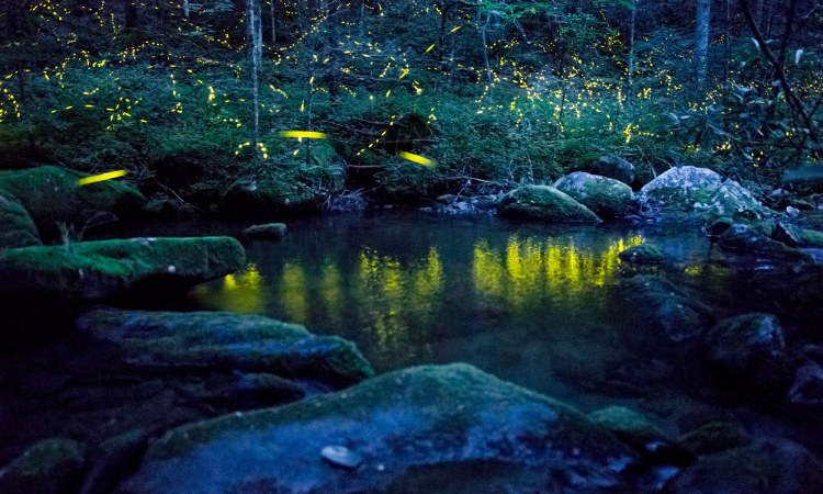 In the Appalachian firefly Photinus carolinus, flying males flash in synchrony with their neighbors, creating a symphony in light.  Photo by Radim Schreiber via TED.com