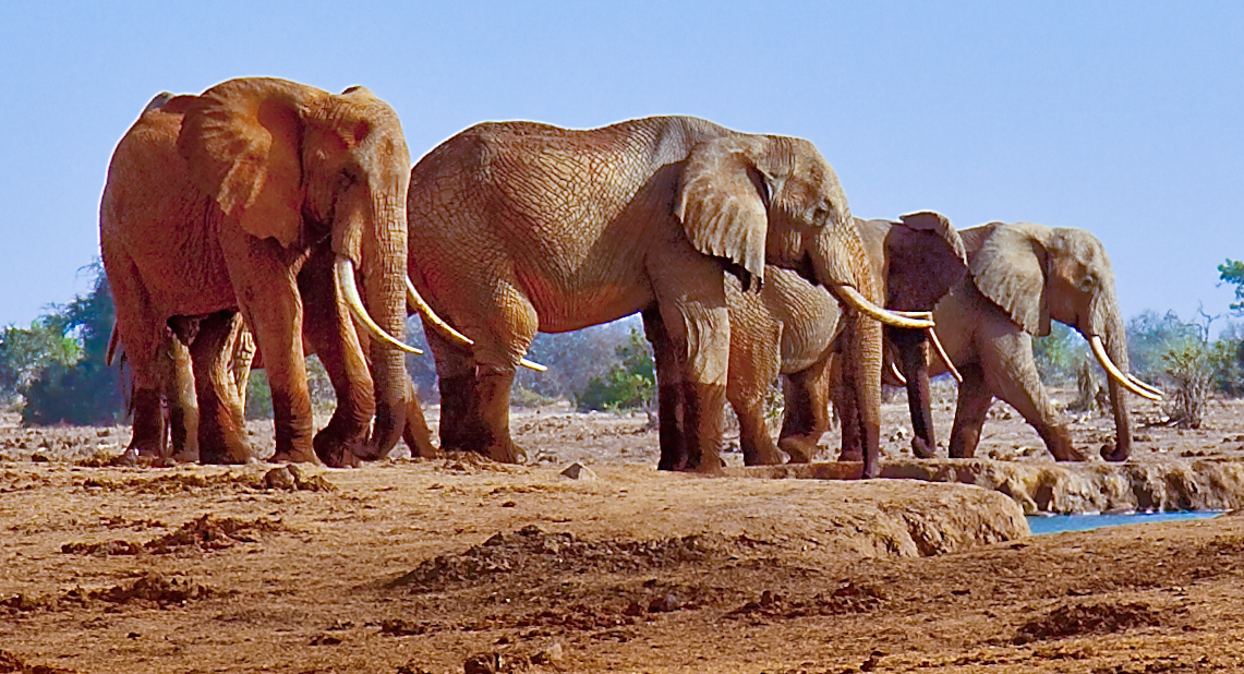 Cropped picture of elephants at a waterhole on June, 14, 2012 near Satao Camp, Tsavo East wildlife reserve in Kenya. Image by John Hickey-Fry  via Wiki  Commons.