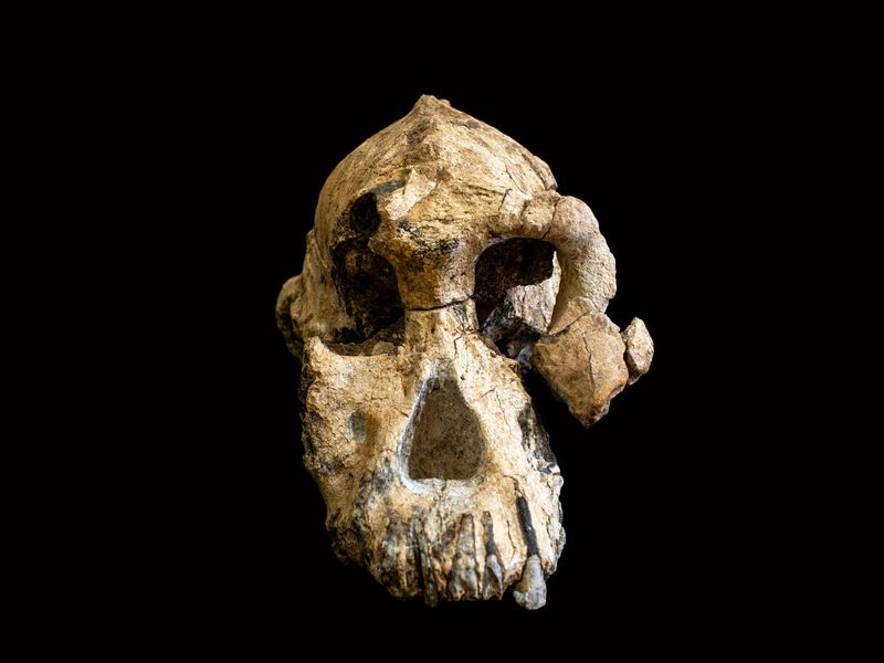 The remarkably complete skull of a human ancestor of the genus  Australopithecus  fills in some of the gaps in the human evolutionary tree. (Dale Omori / Cleveland Museum of Natural History)