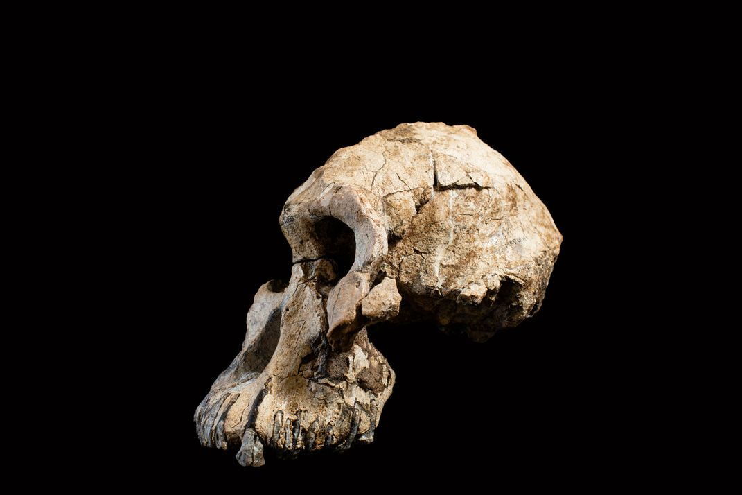 The 3.8 million-year-old cranium of the 'MRD' specimen of  Australopithecus anamensis . (Dale Omori / Cleveland Museum of Natural History)