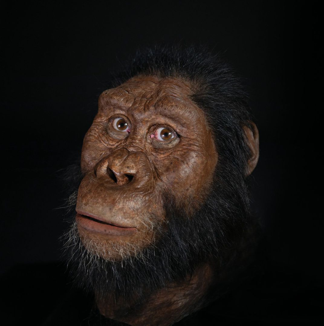 A reconstruction of the facial morphology of the 3.8 million-year-old 'MRD' specimen of  Australopithecus anamensis . (Photograph by Matt Crow / Facial reconstruction by John Gurche made possible through generous contribution by Susan and George Klein / Cleveland Museum of Natural History)