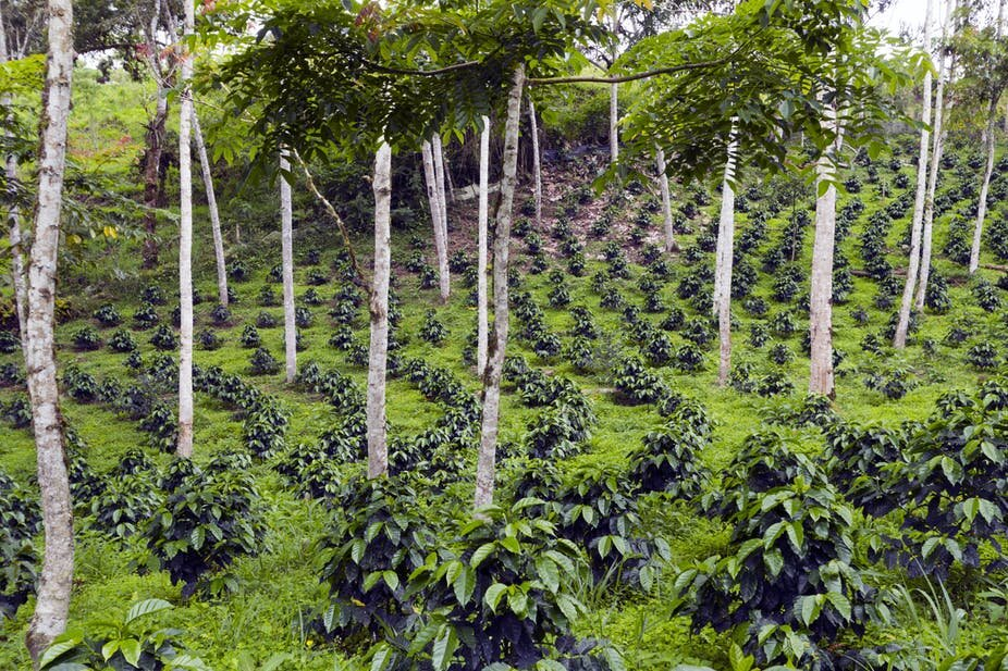 Coffee bushes in a shade-grown plantation in the Andes, Ecuador. Morley Read/Shutterstock