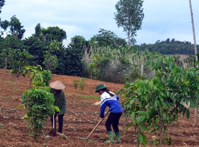 Farmers in northern Viet Nam establishing an agroforestry system of longan trees intercropped with pumpkin. Photo:   World Agroforestry Centre/Tran Ha My