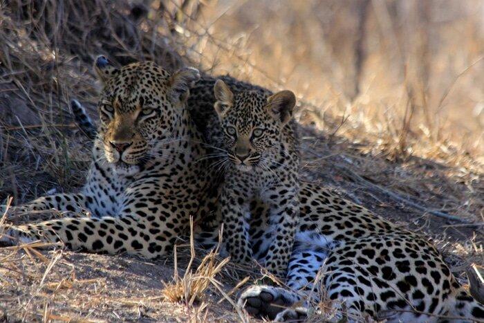 Londolozi-Leopard-and-cub.jpg